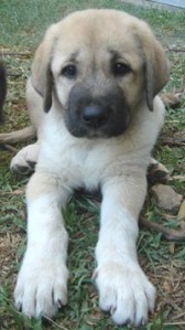 This is an Anatolian Shepherd puppy